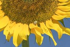 在黄色巨大的向日葵的绿色盾臭虫 图库摄影