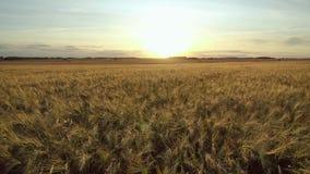 在黄色成熟耳朵麦子浩大的耕地领域的空中行动前锋在日落 股票视频