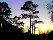 在黄色日落背景的黑松 免版税库存图片