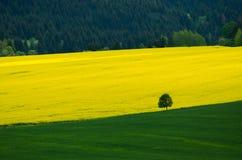 在黄色油菜籽领域和绿色草甸之间的绿色树 免版税库存照片