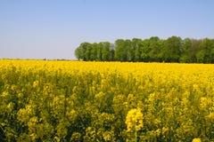 在黄色油菜籽领域的看法与在荷兰农村风景的绿色树在奈梅亨-荷兰附近的春天 免版税图库摄影