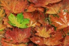在黄色湿秋叶背景的鲜绿色的叶子  库存照片