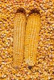 在黄色玉米五谷的两根新鲜的玉米棒子 图库摄影