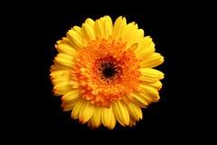 在黄色的黑色大丁草桔子 免版税库存照片