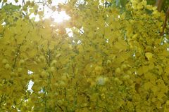 在黄色绽放的桂皮瘘在夏天 图库摄影