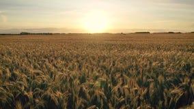 在黄色耳朵成熟麦子浩大的农业领域的空中飞行的边在日落 股票视频