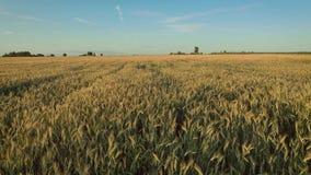 在黄色耳朵成熟麦子浩大的农田的空中行动在收获前 股票视频