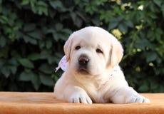在黄色背景的一只小的拉布拉多小狗 图库摄影