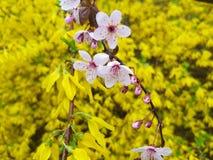 在黄色背景的桃红色和黄色花 库存照片