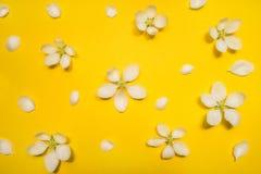 在黄色背景的美丽的春天苹果花 库存图片