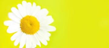 在黄色背景隔绝的Ð ¡ hamomile花 背景看板卡花卉问候页夏天模板普遍性万维网 宏指令 顶视图 复制空间 免版税库存照片