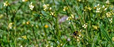 在黄色花关闭的蜂宏指令,当收集在绿色和黄色时的花粉弄脏了背景 库存图片
