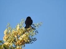 在黄色花分支的小黑鸟  免版税库存照片