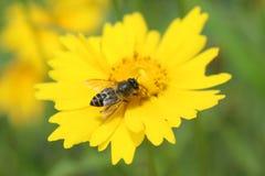 在黄色花和作为蜂蜜的一只蜂 库存图片