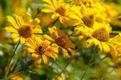 在黄色花的土蜂 库存照片