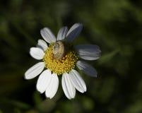 在黄色花的接近的蜗牛有绿色背景在晴朗的早晨 免版税库存照片