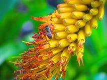 在黄色花的昆虫有绿色背景 图库摄影