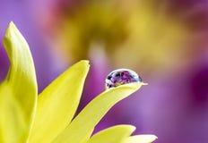 在黄色花的水滴折射的紫色百合 库存图片