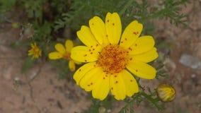 在黄色花的红色天鹅绒小蜘蛛 股票录像