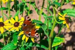 在黄色花的红色蝴蝶 免版税库存图片