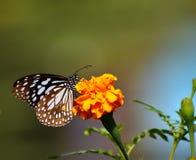 在黄色花的美丽的蓝色蝴蝶 库存图片