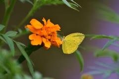 在黄色花的美丽的黄色蝴蝶 免版税图库摄影