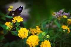 在黄色花的美丽的黑暗的蝴蝶 免版税库存照片