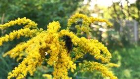 在黄色花的蜂工作在慢动作 影视素材