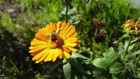 在黄色花的蜂 影视素材