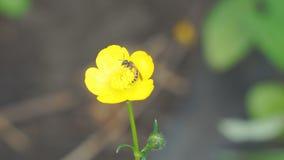 在黄色花的蜂 股票视频