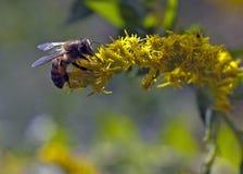 在黄色花的蜂 免版税图库摄影
