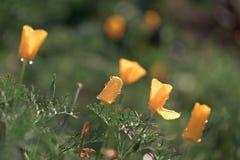 在黄色花的露滴在日落 宏观照片 免版税库存照片