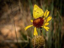 在黄色花的黄色蝴蝶 库存照片