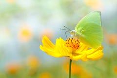 在黄色花背景迷离的美丽的蝴蝶 免版税库存照片