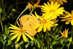 在黄色花,绿色植物背景的无云的白蝴蝶 图库摄影
