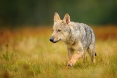 在黄色草的小狼 免版税库存照片