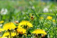 在黄色蒲公英的工蜂 免版税图库摄影