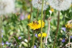 在黄色蒲公英的工蜂 免版税库存照片
