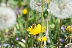 在黄色蒲公英的工蜂 免版税库存图片