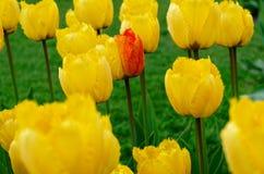 在黄色郁金香里面的领域的唯一多色的郁金香花 免版税库存照片