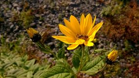 在黄色野花的蜂 免版税库存照片