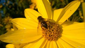 在黄色野花的蜂 免版税图库摄影
