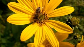 在黄色野花的蜂 免版税库存图片