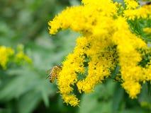 在黄色野花的蜂 库存图片