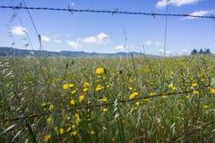 在黄色野花盖的草甸保护受铁丝网篱芭,旧金山湾区,加利福尼亚的 免版税图库摄影