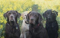 在黄色领域的Labradors 免版税库存照片