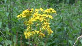 在黄色颜色的熊蜂 饮料花蜜和收集花粉 股票录像