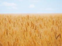在黄色麦田的麦子耳朵在蓝天下 库存照片