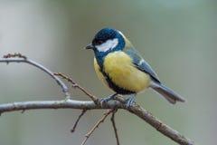 在黄色黑颜色开会的逗人喜爱的伟大的山雀帕鲁斯少校鸟 库存照片