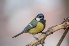在黄色黑颜色开会的逗人喜爱的伟大的山雀帕鲁斯少校鸟 库存图片